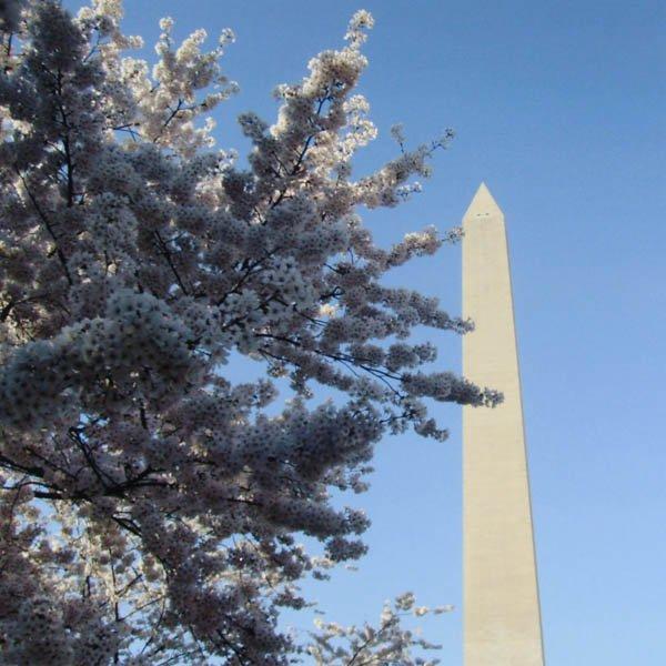 "3 ""Washington's Cherries"" by Rachel Rospierski"