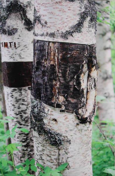 "318 ""Alaskan Birch"" by Jacque Caringola"